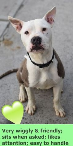 Brooklyn Center JASON – A1071075 MALE, WHITE / BROWN, AM PIT BULL TER MIX, 1 yr STRAY – ONHOLDHERE, HOLD FOR ID Reason STRAY Intake condition UNSPECIFIE Intake Date 04/22/2016 http://nycdogs.urgentpodr.org/jason-a1071075/