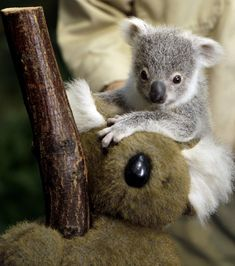 A seven month old female baby koala, as yet unnamed, holds onto a toy koala as she is weighed at Duisburg Zoo, Germany, Wednesday, Dec. 21, 2011. The young koala left her mothers pouch for the first time this week, enabling the keeper to weigh her.  (AP / Frank Augstein)