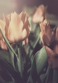 simple sublime, these tulips. #photography #flowers #beautiful