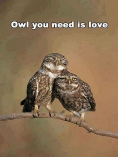 love birds:) allcreatures: Little owl (Athene noctua) pair perched, courtship behaviour, Spain. Animals And Pets, Baby Animals, Funny Animals, Cute Animals, Baby Owls, Funny Owls, Nature Animals, Beautiful Owl, Animals Beautiful