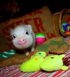 Pig - Miniature Teacup Piglets - Micro Mini Pigs - Blue-Eyed - Pigs -
