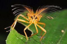 A família besouro Phengodidae é conhecido também como besouros pirilampo, cujas larvas são conhecidos como vaga-lumes. As fêmeas e larvas têm órgãos bioluminescentes. Elas ocorrem em todo o Novo Mundo a partir de extremo sul do Canadá ao Chile. A família Rhagophthalmidae, um grupo Velho Mundo, usadas para ser incluído na Phengodidae.