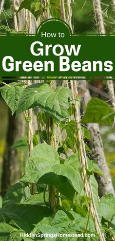 HOW TO GROW GREEN BEANS: Green beans are one of the easier vegetables to grow. Learn about green beans and what you need to grow your own green beans. You can be serving fresh green beans to your family for dinner.