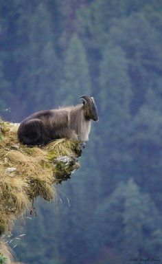 TAHR Himalayan tahr (Hemitragus jemlahicus) ♂ Kedarnath Musk Deer Sanctuary, Uttarakhand By Ankit Singh Bisen Photography