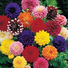 Dahlia Decorative Mix - Big, 4-in. double blooms in an array of vibrant colors. Some even sport bicolor petals!