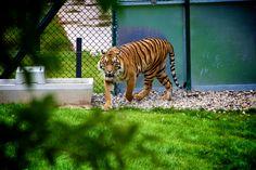 feline tiger big cat wallpaper download free hd