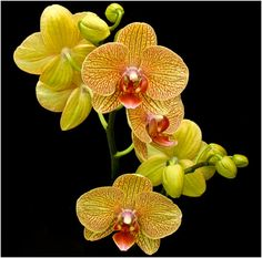 """Phalaenopsis...love these """"easy to care for"""" orchids"""