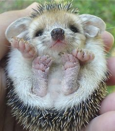 so... I would rly like one of these baby hedgehogs. Eric says our kitty would eat it. He's probably right. Boo:(