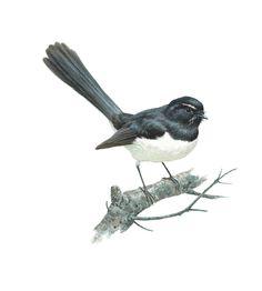 Wagtail Drawing Willie Wagtail Sold Watercolor Bird, Watercolor Paintings, Watercolours, Beautiful Artwork, Beautiful Birds, Bird Sketch, Australian Animals, Botanical Drawings, Bird Drawings