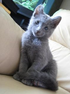 Russian Blue furry-things. (this one looks a little like a blion cub just blue)