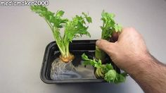 You can grow Celery through Hydroponic method. Click image to see how...