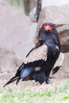 bateleur eagle - one of the beautiful eagles called bateleur  lives in africa i captured this photo in moholoholo rehabilitation center