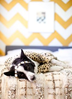 living in the lap of luxury. This dog has style for miles  Photography by Sarah Yates http://www.birdsofafeatherphoto.com/