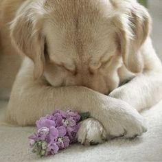 Mind Blowing Facts About Labrador Retrievers And Ideas. Amazing Facts About Labrador Retrievers And Ideas. Cute Puppies, Cute Dogs, Dogs And Puppies, Doggies, Baby Dogs, Funny Dogs, Pound Puppies, Animals And Pets, Baby Animals