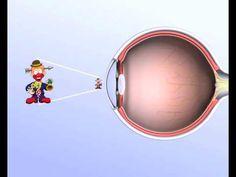 Biologie - Aufbau und Funktion des Auges