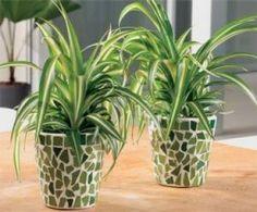 Purifying plants - Spider Flower http://www.benefitsofnature.net/