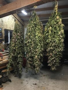 The Cannabis School Marijuana Art, Marijuana Plants, Cannabis Plant, Medical Marijuana, Planta Cannabis, Weed Bong, Cannabis Growing, Central Oregon, Buy Weed
