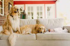 Newborn   Golden Retrievers, New Jersey Newborn Photography