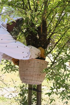 Collecting a bee swarm.