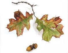 Oak Leaves & Acorns, watercolor on paper, ©2001 Kate Dickerson