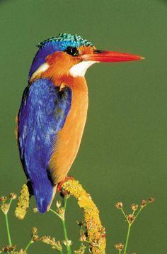 Malachite Kingfisher in Mpumalanga, South Africa. Malachite Kingfisher in Mpumalanga, South Africa. Most Beautiful Birds, Pretty Birds, Love Birds, Exotic Birds, Colorful Birds, Beautiful Creatures, Animals Beautiful, South African Birds, Frost Free