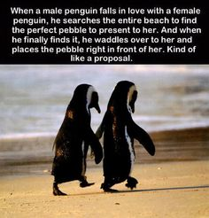 Penguins, more romantic than a lot of guys. That a penguin would invest so much time into finding just the right pebble... So many guys think romance is something you can put a price tag on, if it costs a lot it's romantic. Truth, if it took thought it could cost no money but speak to her heart.