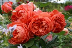 Summer Song David Austin Rose - Fragrance strong with hints of chrysanthemum leaves, ripe bananas and tea'.  Repeating excellent