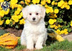 Nala – Bichon Frise Puppy www.keystonepuppies.com  #keystonepuppies  #bichonfrise