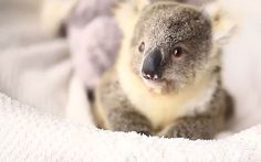 Video: Adorable baby koala sits for her first photoshoot - Telegraph