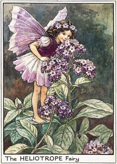 The Heliotrope Fairy, from Flower Fairies of the Garden by Cicely Mary Barker    Enchanted Garden: Flower Fairies and Dark Tales runs to Sunday 2 October, 11am    to 5pm (last entry 4.30pm). The exhibition and all related activities are    free upon normal admission charge to the property.