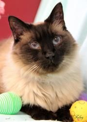 Tashi is an adoptable Himalayan Cat in Front Royal, VA. Tashi is a Himalayan/Siamese mix Neutered and Declawed Male with Seal Point markings. He was brought to us on 2/15/13 after being found as a str...