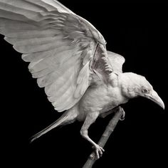 "faerypotter: "" This is a photo of Pearl, a rare albino raven who was murdered. She was shot. Photo by Devlin Gandy """