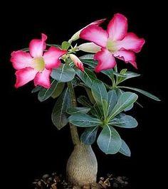 Dessert Rose http://www.bonsaiboy.com/catalog/desertrosecare.html