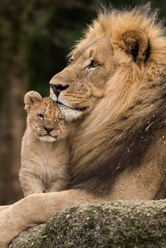 lion and his cub