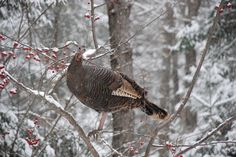 The North American Wild Turkey Management Plan - Habitat ...