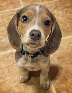 Bleu Steel the Beagle - not the cutest beagle I know but I think it should go on the list!