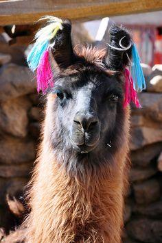 Llama - Desierto de Atacama Chile