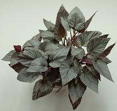 Картинки по запросу Begonia 'Silver Limbo'