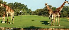 A round of golf with giraffes. South Africa Golf Safaris - Sun Safaris