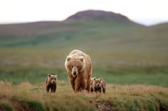 Mother bears have a difficult choice: Take their cubs nearer to humans or risk infanticide by males looking to mate.
