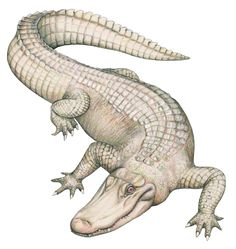 Pics For > Baby Alligator Illustration