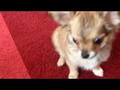 Чихуахуа Джас (3 месяца) выполняет команды.Chihuahua Jazz( 3 months) exe...