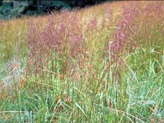 Purple Top Grass:  Native Texas grass with smooth, glossy green leaves and distinctive purple seed heads. Re-vegetates poor and acidic soil, and is somewhat shade tolerant. Dense growth of grasses also keeps weeds at bay. Brown during the fall and winter months. Natural forage grass for domestic and wild animals. Sun to shade. Grows 2-4 feet tall. Zones 5-10.