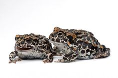 "seraphica: ""In his series The Vanishing: Amphibian Extinction, photographer Joel Sartore captures endangered species on the brink of being wiped out. "" ""Across the globe, amphibian species are going..."