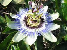 Dr Oz Passion Flower Tea for Anxiety