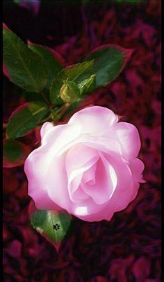 Rose of Pinks...