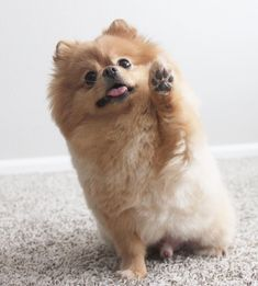 Poms are such cute beggers! Cute Little Animals, Cute Funny Animals, Baby Animals Pictures, Animals And Pets, Beautiful Dogs, Animals Beautiful, Zee Dog, World Cutest Dog, Cute Pomeranian