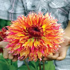 Shop Myrtle's Folly Dahlia at Breck's