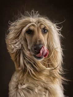 Blowin' In The Wind, Wind In My Hair, Afghan Hound, Hound Dog, Dogs Of The World, Dog Photography, Big Dogs, Dog Photos, Dog Life