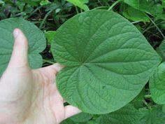Saiba mais sobre as plantas não convencionais usadas no desafio Masterchef do episódio de 02/08. Todas essas plantas não são facilmente e...